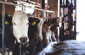 Dairies need hot water for multiple steps of the milking process.