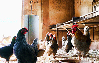 Chickens are unsanitary and need to be kept comfortable. Keep them warm and free of disease with an efficient hot water boiler.